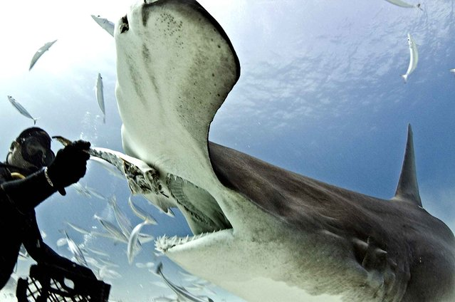 A brave diver had a close encounter with a hammerhead shark in the Bahamas. Diver Eli Martinez bravely stood his ground after having the close encounter off Bimini Island. Pictures show Martinez hand feeding the dangerous shark. (Photo by Paul Spielvogel/Caters News)
