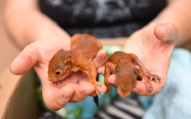 """A volunteer of the """"Goupil"""" association takes care of two young squirrels at the Wildlife Hospital in Laroque, southern France, on July 9, 2019. Since the end of June heat wave that hit France and Europe, the small tean at the Laroque Wildlife Hospital in the Herault department has been """"overheating"""", having received and treated hundreds of animals affected by the unprecedented heat. (Photo by Sylvain Thomas/AFP Photo)"""