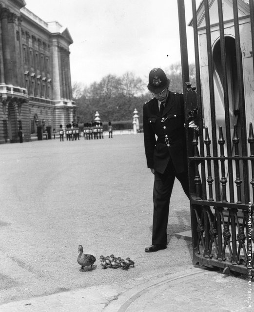 1964: A policeman at Buckingham Palace holds the gate open so that a duck and her ducklings, from nearby St James's Park, can leave the palace forecourt
