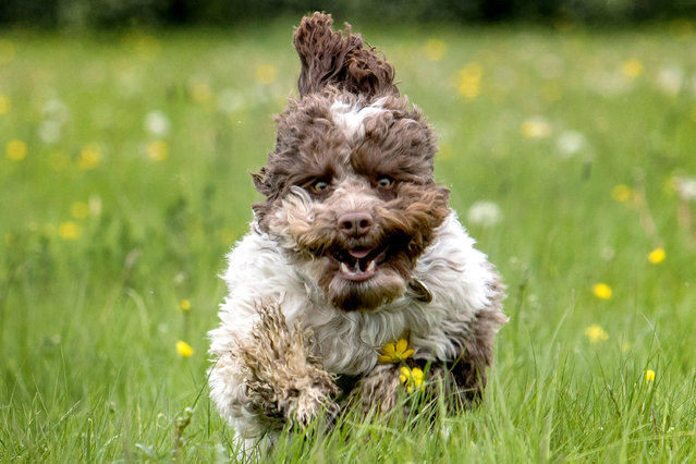 A Cockerpoo. (Photo by Nick Ridley Photography/Caters News Agency)