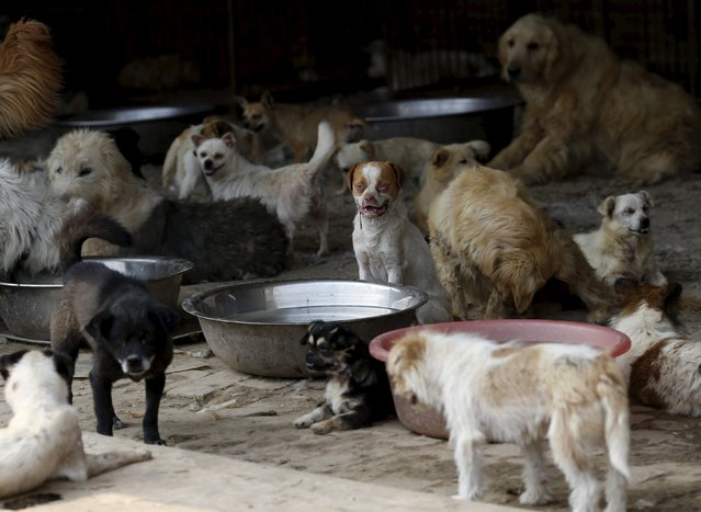 Rescued dogs are seen at a shelter run by Yang Xiaoyun in Tianjin, China, July 8, 2015. (Photo by Kim Kyung-Hoon/Reuters)