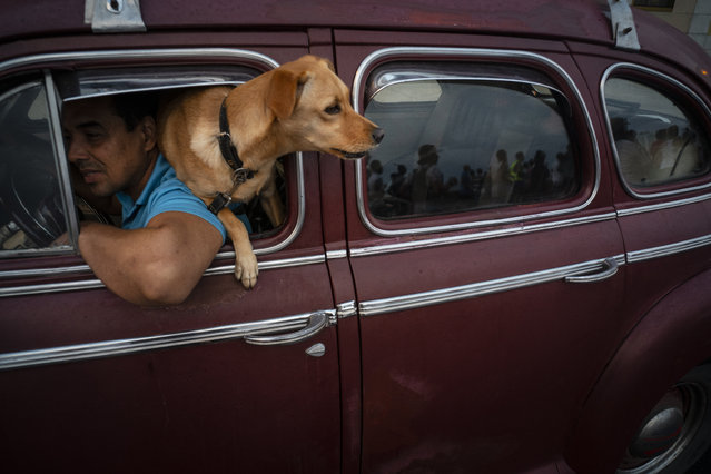 """In this November 10, 2019 photo, a dog named """"Brujita"""", or Little Witch, looks out the window of a classic American classic car in Havana, Cuba. (Photo by Ramon Espinosa/AP Photo)"""