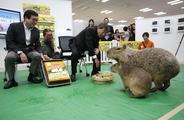 Two Capybaras, Nori, second right, and Salt, right, are fed vegetables by Calbee, Inc. Chief Executive Officer Akira Matsumoto, center, and President Shuji Ito, left, at the company's headquarters in Tokyo's Marunouchi business district Tuesday, May 31, 2016. The Japanese confectionery company welcomed the Capybaras Tuesday as PR staff in the promotion of the company's potato chips. (Photo by Shizuo Kambayashi/AP Photo)