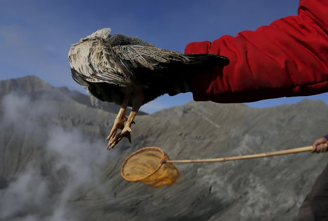 A Hindu worshipper holds out a chicken before throwing it into the crater as an offering during the Kasada Festival at Mount Bromo in Probolinggo, Indonesia's East Java province, August 1, 2015. (Photo by Reuters/Beawiharta)