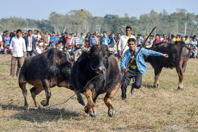 Buffalo owners try to control their buffalos during a traditional buffalo fight held as part of Bhogali Bihu festival at Boidyabori village, some 80 km from Guwahati on January 16, 2020. Magh Bihu is the harvest festival of north eastern Assam state and is observed in the Assamese month of Magh, that coincides with January. (Photo by Biju Boro/AFP Photo)