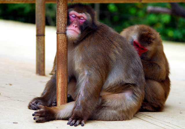 Sleeping Japanese monkey