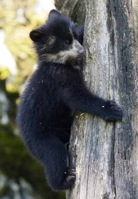 """Young spectacled bear (Tremarctos ornatus) """"Ojo"""" explores his enclosure at the Zoo in Zurich, Switzerland, 16 July 2014. """"Ojo"""" was born on 16 February 2014. (Photo by Steffen Schmidt/EPA)"""