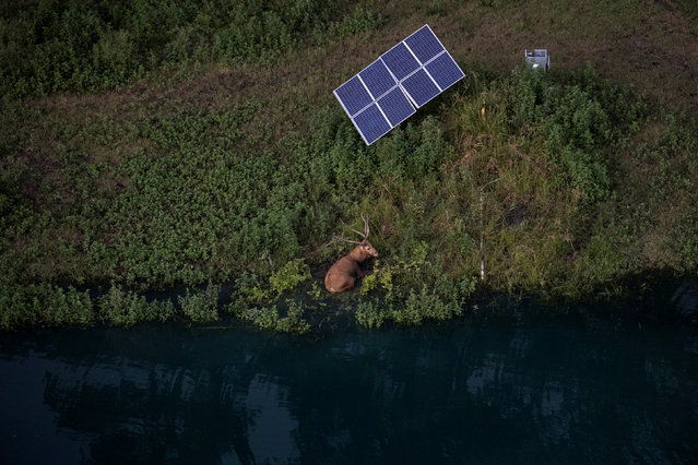 A Pere David's deer rests next to a wateringf hole and a solar panel in Thompson, Texas on August 30, 2017. Picture taken on August 30, 2017. (Photo by Adrees Latif/Reuters)