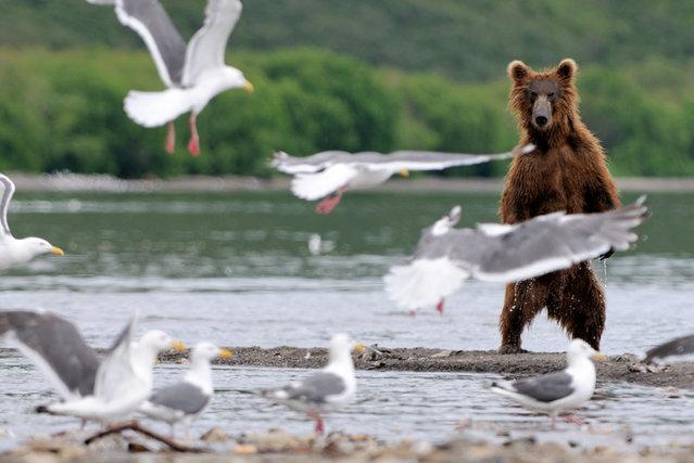 Bear with seagulls/n. South Kamchatka Sanctuary<><>South Kamchatka Sanctuary; seagull; Kamchatka; bear; Kuril Lake