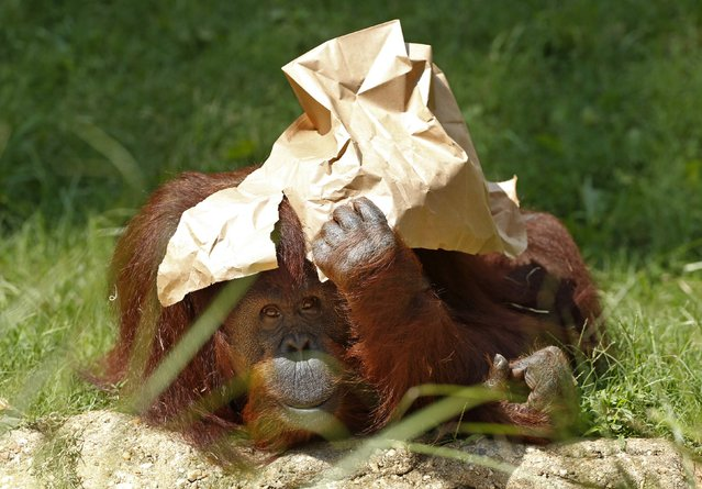 An orangutan holds a paper bag over its head under the hot sun at the National Zoo in Washington September 4, 2014. After a mild summer, the nation's capital is experiencing late season heat wave with temperatures up to around 90 degrees Fahrenheit. (Photo by Kevin Lamarque/Reuters)