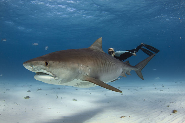 A group of daredevil divers get perilously close to a school of deadly sharks – and one even lies on his back with his arm folded.  The relaxed diver swims on his back and almost hugs the shark who is floating directly above him. The freedivers – Carlos Estrabeau, 28, and 29-year-old Ocean Ramsey – are friends with photographer Raul Boesel Jr. Photographer Raul Boesel Jr from Curitiba, Brazil, travelled to West End in the Bahamas to capture images of the giant sharks. (Photo by Raul Boesel/Solent News & Photo Agency)