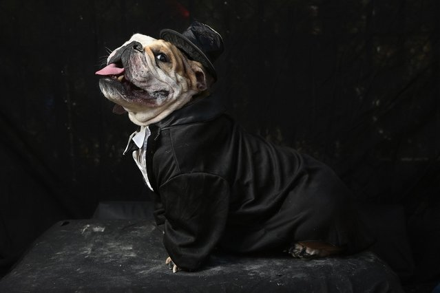 Meatball, a bulldog, poses in a tuxedo at the Tompkins Square Halloween Dog Parade on October 20, 2012 in New York City