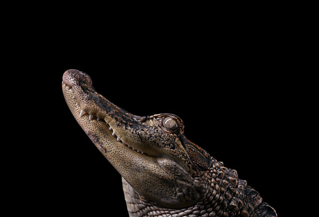 Alligator. (Photo by Brad Wilson/Caters News)