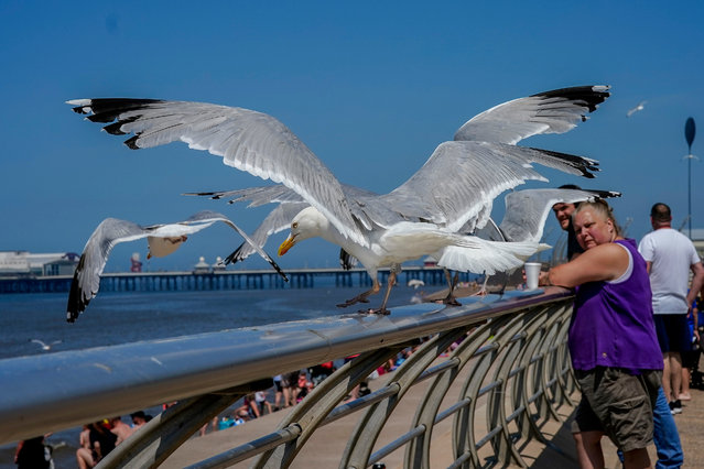 Seagulls wait in hope of a titbit at Blackpool as people enjoy the fine weather on June 24, 2020 in Blackpool, United Kingdom. The UK is experiencing a summer heatwave, with temperatures in many parts of the country expected to rise above 30°C and weather warnings in place for thunderstorms at the end of the week. (Photo by Christopher Furlong/Getty Images)