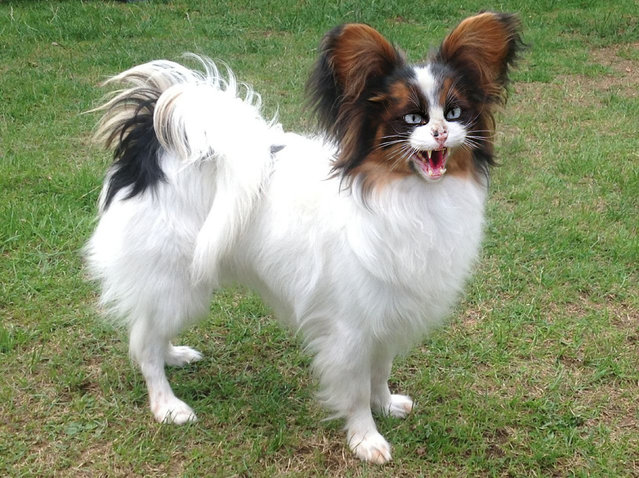 Cross between a cat and a pomerian – Papillat. (Photo by Sarah DeRemer/Caters News)