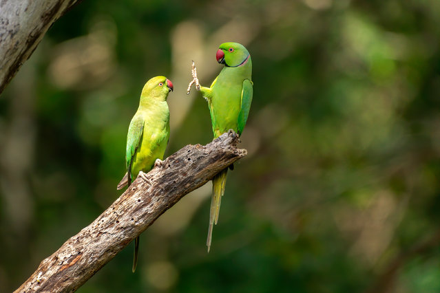 "Social distance, please! Kaudulla national park, Sri Lanka. ""This is the beginning of a scene which lasted approximately one minute and in which each of the rose-ringed parakeets used a foot to clean the partner's beak. While the whole scene was very informative, this first photo with the male already holding his foot high in the air was just asking to be taken out of context"". (Photo by Petr Sochman/Comedy Wildlife Photography Awards 2020)"