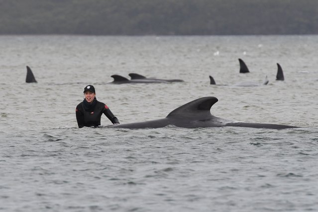 A person stands next to a stranded pilot whale at Macquarie Harbour, Tasmania, Australia, 22 September 2020. A large rescue mission to save approximately 270 pilot whales has begun. According to reports 90 whales have perished. (Photo by Brodie Weeding/EPA/EFE)
