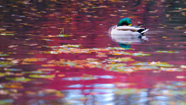 A duck washes in a pond in Bayreuth, Germany, 04 Novemeber 2015. (Photo by Nicolas Armer/EPA)