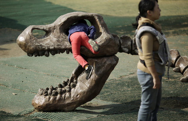 A child plays with a model of skeletal dinosaur at a zoo in Yokohama, Saturday, November 7, 2015. (Photo by Eugene Hoshiko/AP Photo)