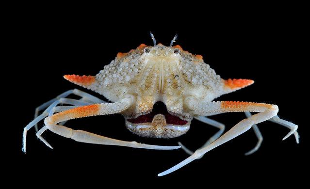 Deep-water pebble crab; Singapore Marine. (Arthur Anker)