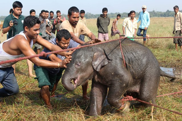 Villagers secure a wild elephant calf at a rice paddy field at Borbhugia near Koliabor in Nagaon district, India's northeastern Assam state, on December 15, 2014. The villagers rescued the baby elephant that was separated from its herd. (Photo by AFP Photo)