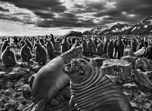 "On South Georgia, a barren island in the far South Atlantic, a pair of southern elephant seal calves beckon before a colony of king penguins. ""The male seals can grow to almost five tons,"" says Salgado, ""but these are just babies. This one looked at me with beautiful eyes"". (Photo by Sebastião Salgado/Amazonas/Contact Press Images)"