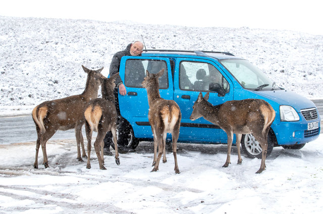 A motorist stops to take a closer look at the red deer alongside the A82 in Glencoe, Scotland on December 27, 2020. (Photo by Jane Barlow/PA Images via Getty Images)