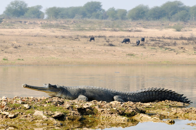 """The gharial, a critically endangered species of crocodile which lives in India and Nepal, is declining due to degradation of its habitat, accidental bycatch in fishing nets and harvesting of eggs. (Photo by Aditya """"Dicky"""" Singh/Alamy Stock Photo)"""