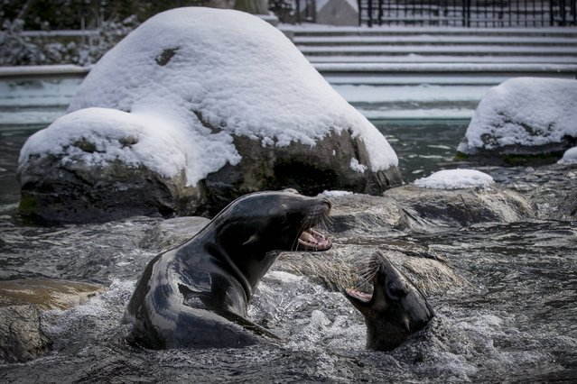 Two California Sea Lions play in the pool at New York's Central Park Zoo following an early morning snowfall January 9, 2015. (Photo by Brendan McDermid/Reuters)