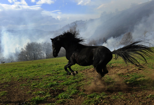 A horse reacts to the smoke from a forest fire in the village of Andarujo, near Oviedo, northern Spain, December 28, 2015. (Photo by Eloy Alonso/Reuters)