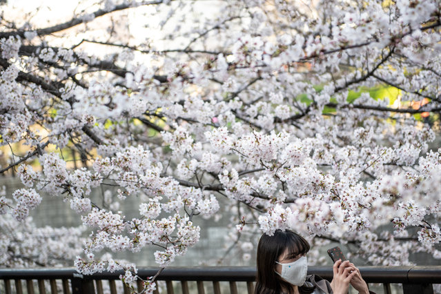 A woman takes pictures of cherry blossoms in Meguro district of Tokyo on March 23, 2021, as the country's famed cherry trees began their annual bloom nearly two weeks ahead of schedule. (Photo by Philip Fong/AFP Photo)