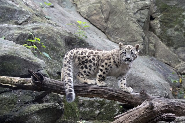 A snow leopard cub born on April 9 is seen in his enclosure in the Himalayan Highlands exhibit at the Bronx Zoo in New York, on August 28, 2013. (Photo by Julie Larsen Maher/Reuters)