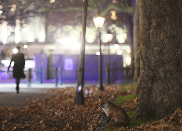 An urban fox walks alongside the Mall in central London, Britain, November 29, 2016. (Photo by Toby Melville/Reuters)