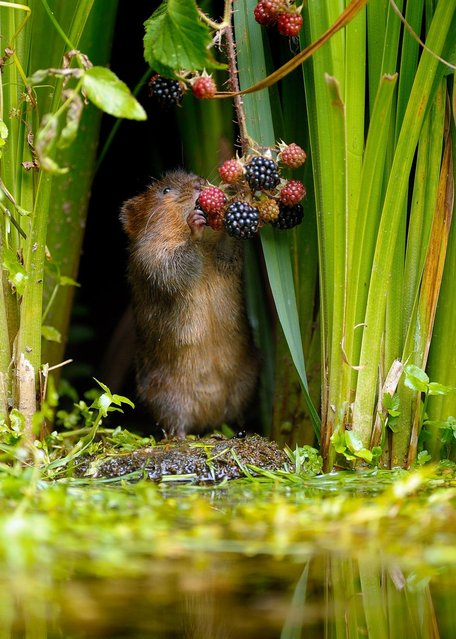 A tiny water vole pulls off a berry from a plant for his dinner, on September 23, 2013. (Photo by Caters News)