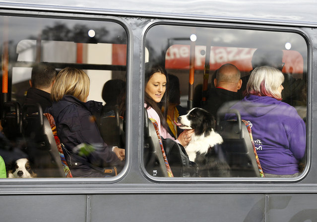 A dog arrives on a bus for the first day of the Crufts Dog Show in Birmingham, central England, March 5, 2015. (REUTERS/Darren Staples)