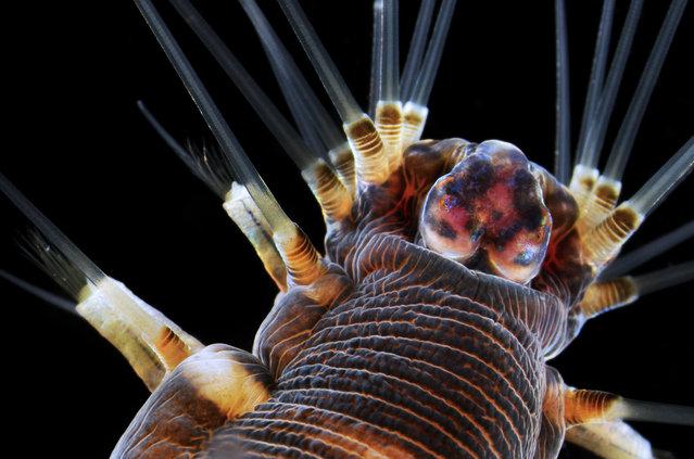 3rd Place winner of the 2013 Small World Photomicrography Competition, a 20x close-up of a marine worm by Dr. Alvaro Esteves Migotto, of the Universidade de Sao Paulo, Centro de Biologia Marinha, Brazil. (Photo by Dr. Alvaro Esteves Migotto)