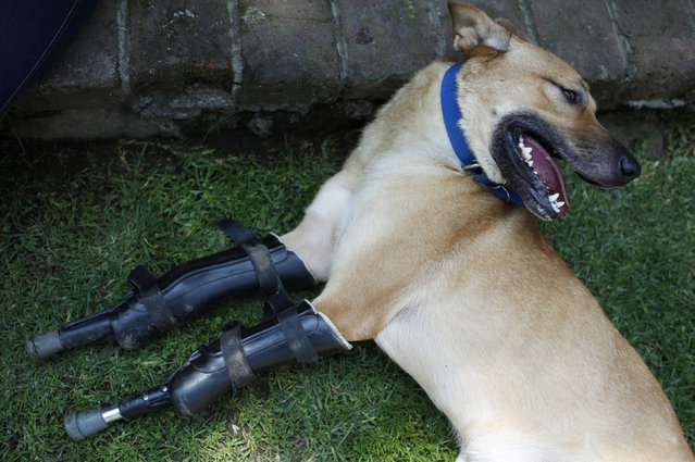 A dog named Pay de Limon (Lemon Pay) is seen fitted with two front prosthetic legs at the Milagros Caninos rescue shelter in Mexico City August 29, 2012. Members of a drug gang in the Mexican state of Zacatecas chopped off Limon's paws to practice cutting fingers off kidnapped people, according to Milagros Caninos founder Patricia Ruiz. (Photo by Tomas Bravo/Reuters)