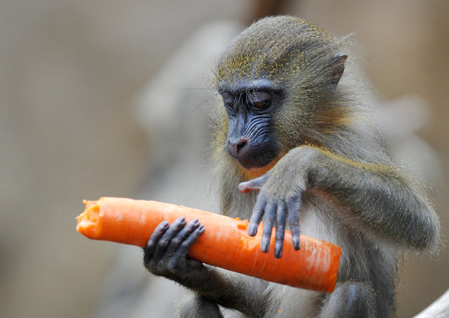 A young mandrill enjoys a carrot on March 16, 2015 at the zoo in Dresden, eastern Germany. (Photo by Matthias Hiekel/AFP Photo/DPA)