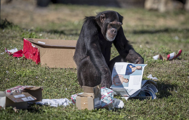 A chimpanzee examines his holiday gifts at the Lion Country Safari in Loxahatchee, Fla., on Thursday, December 22, 2016. The chimps received edible treats, stuffed animals, clothes and enrichment-themed activities. (Photo by Allen Eyestone/Palm Beach Post via AP Photo)