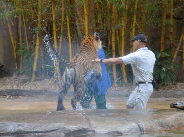 In this photo taken Tuesday, Nov. 26, 2013 and made available Thursday, November 28, a Sumatran tiger leaps on Australia Zoo handler Dave Styles, left, as an unidentified man comes to Styles' aid in an enclosure at the zoo at Sunshine Coast, Australia. Styles who suffered puncture wounds to his head and shoulder was rescued by fellow workers at the zoo. He is recovering following surgery after being airlifted to a hospital. (Photo by Johanna Schehl/AP Photo)