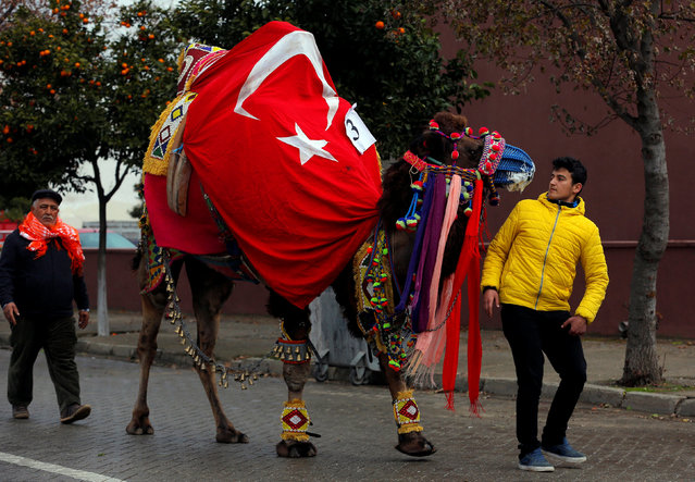 A wrestling camel adorned with colourful ornaments is paraded during the Camel Beauty Contest ahead of the annual Selcuk-Efes Camel Wrestling Festival in the Aegean town of Selcuk, near Izmir, Turkey, January 14, 2017. (Photo by Murad Sezer/Reuters)