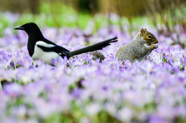 A squirrel and a magpie forage among purple crocuses in Bath, UK, where mild weather has triggered an early bloom of the spring flower. (Photo by Ben Birchall/PA Wire Press Association)