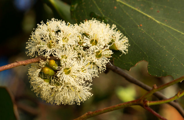 The flower of a eucalyptus regnans. The Styx valley contains some of the tallest flowering plants in the world. (Photo by Steven Pearce/The Tree Projects/The Guardian)