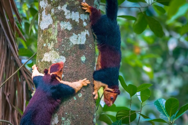 The Indian giant squirrel, or Malabar giant squirrel (Ratufa indica) has a conspicuous two-toned (and sometimes three-toned) color scheme. The colors involved can be creamy-beige, buff, tan, rust, brown, or even a dark seal brown. The underparts and the front legs are usually cream colored, the head can be brown or beige, however there is a distinctive white spot between the ears. Adult head and body length varies around 14 inches (36 cm) and the tail length is approximately 2 ft (0.61 m). Adult weight – 2 kg (4.41 lb). (Photo by Kaushik Vijayan/South West News Service)