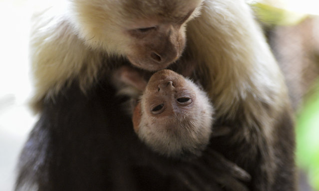 Capuchin monkey (Cebus capucinos) born two mounth ago, hangs from its mother at Santa Fe zoo , in Medellin, Colombia, on February 8, 2017. (Photo by Raul Arboleda/AFP Photo)