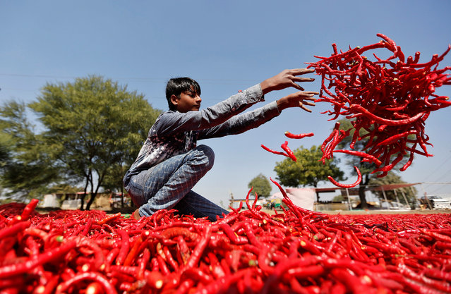 A boy spreads red chillies to dry at a farm on the outskirts of Ahmedabad, India, February 10, 2017. (Photo by Amit Dave/Reuters)
