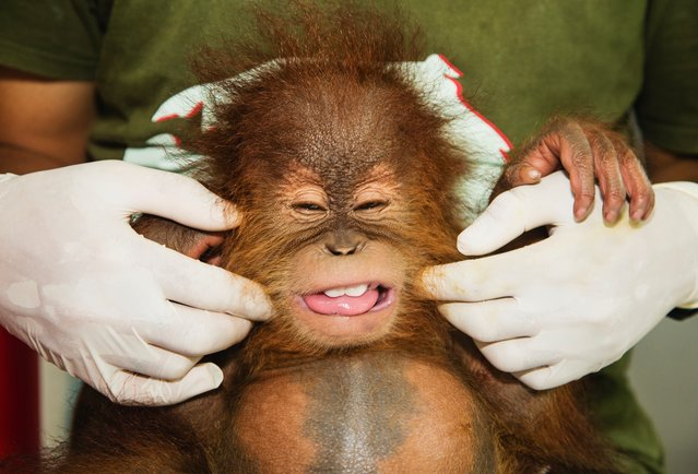 Enjoying a tickle from her keeper, an orphaned orangutan at the SOCP Quarantine Centre in Sumatra, Indonesia on March 20, 2016. The island's orangutan population has been devastated in recent years as the forest areas are destroyed to make way for palm oil plantations. (Photo by Jami Tarris/Barcroft Media)