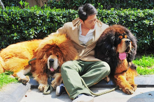 """This picture taken on March 18, 2014 shows an unidentified man posing for a photo with two Tibetan mastiffs after they were sold at a """"luxury pet"""" fair in Hangzhou, in eastern China's Zhejiang province.  One of the Tibetan mastiff puppies (L) was sold in China for almost two million USD, a report said on March 19, in what could be the most expensive dog sale ever. (Photo by AFP Photo)"""