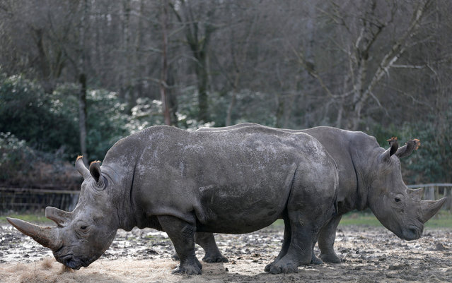 White rhinoceros Bruno (R) and Gracie are seen in their enclosure at Thoiry zoo and wildlife park, about 50 km (30 miles) west of Paris, France, March 7, 2017. Poachers broke into the zoo last night, shot dead four-year-old male white rhino called Vince, and sawed off its horn in what is believed to be the first time in Europe that a rhino in captivity has been attacked and killed. (Photo by Christian Hartmann/Reuters)