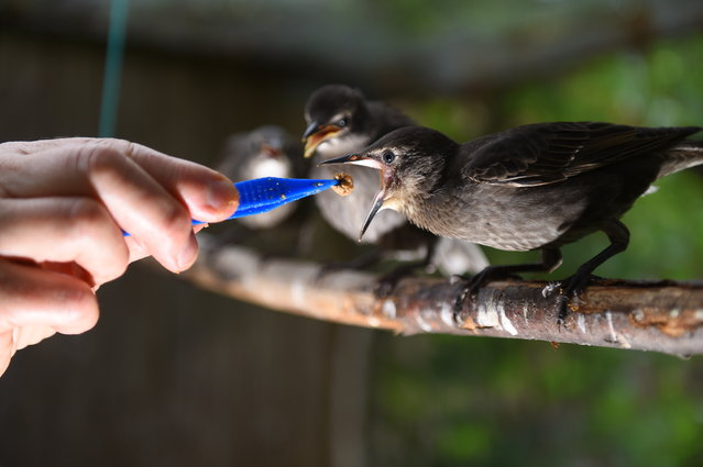 """Marie-Pierre Puech, veterinarian and president of the Goupil association, feeds young starlings at the Wildlife Hospital in Laroque, southern France, on July 9, 2019. Since the end of June heat wave that hit France and Europe, the small tean at the Laroque Wildlife Hospital in the Herault department has been """"overheating"""", having received and treated hundreds of animals affected by the unprecedented heat. (Photo by Sylvain Thomas/AFP Photo)"""